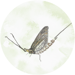 riverfly-census