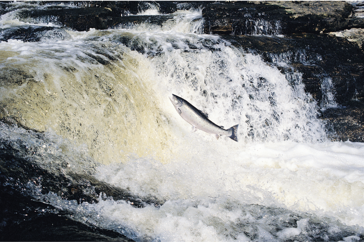 A salmon leaping over waterfalls on the River Tay, Scotland