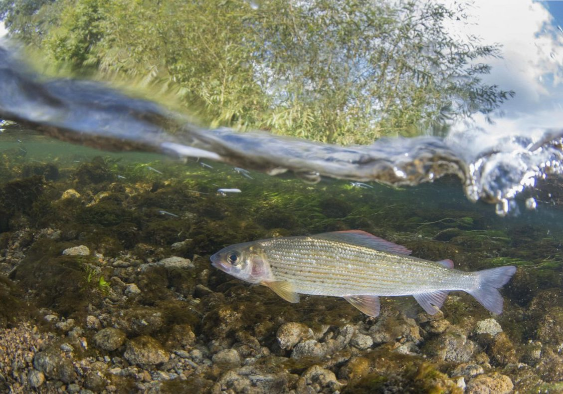 Grayling, swimming in the rivers current minnows  near by, River Frome , Dorset, September