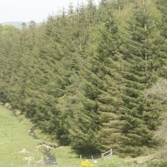 21a Acid producing conifers planted beside a Welsh spawning stream, one of the issues covered in 'Valuing our Freshwaters' (2)