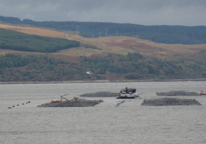 salmon farming industry blames wild fish